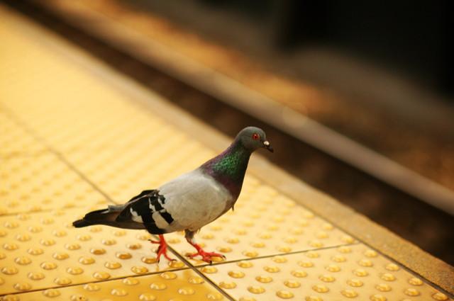 Pigeon fare dodger image by Robert MacMillan (via Shutterstock).